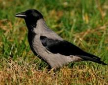 Siva vrana, foto Dejan Bordjan