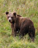 Medved (M.Krofel)