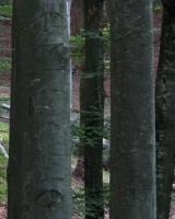 Ilirski bukov gozd (T.Jančar)