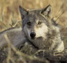 Volk (Wikipedija)
